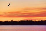 Gull At Sunrise 20120406
