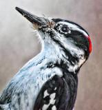 Hairy Woodpecker Portrait 26354