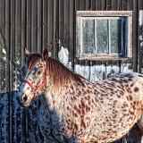 Dappled Horse Beside Dappled Barn 26529