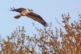 Osprey Over A Tree 26623