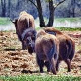 Retreating Bison 26653