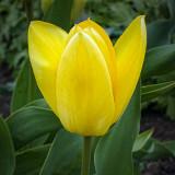 Yellow Tulip 20120430