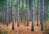 Pine Forest DSCF04263
