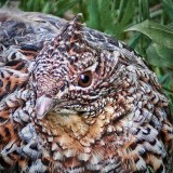 Ruffed Grouse Closeup 20120512