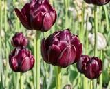 Tulip Festival 2012 (00433)