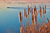 Sunrise Cattails 00238