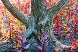 'Dog'wood 20120529