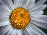 Daisy 00993-4