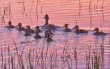 Ducky Dozen 23984