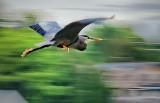 Heron In Flight 24271