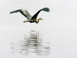 Heron In Foggy Flight 20120610