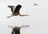 Heron In Foggy Flight 24432