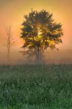 Tree In Misty Sunrise 24557-9