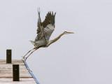 Heron Taking Flight 24426