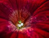 Petunia Closeup 01166