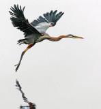 Heron In Foggy Flight 24427