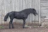 Yawning Horse 26941