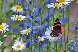 Butterfly On A Daisy 27022
