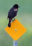Red-winged Blackbird 26935