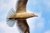 Gull Overhead 25097