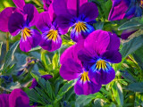 Purple Pansies 26706-7
