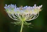 Queen Anne's Lace 25319-21
