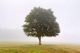 Lone Tree In Fog 25588