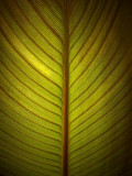 Backlit Calla Lily Leaf 01523