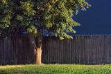 Tree Beside Fence 20120816