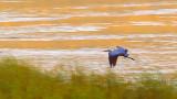 Heron Over Loon Lake 26235