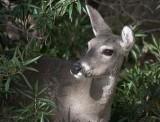Deer Looking Out 77142