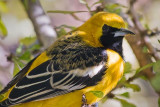 Hooded Oriole 78377