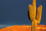Our Saguaro 78539