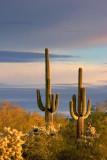 Two Saguaro 79054