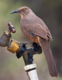 Thirsty Curve-billed Thrasher 79236