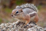 Harris's Antelope Squirrel 79257