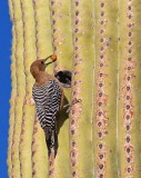 Woodpecker On A Saguaro 20080117