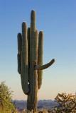 Male Saguaro 80491