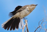 Mockingbird Stretching 80744