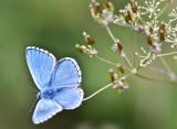 Adonis blue_0573