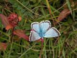 Chalkhill Blue 1