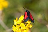 Aberrant burnet moth_0527