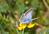 Chalkhill Blue_0884