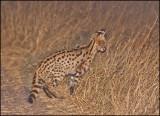 Serval_1159