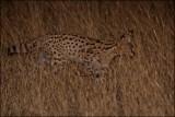 Serval_1168
