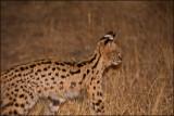 Serval_1176