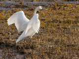 first swan-9190.jpg