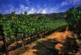 Napa Vines