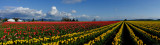 Panorama of Tulips