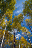 Trees of Gold